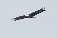 Adult bald eagle soaring above Onondaga lake.