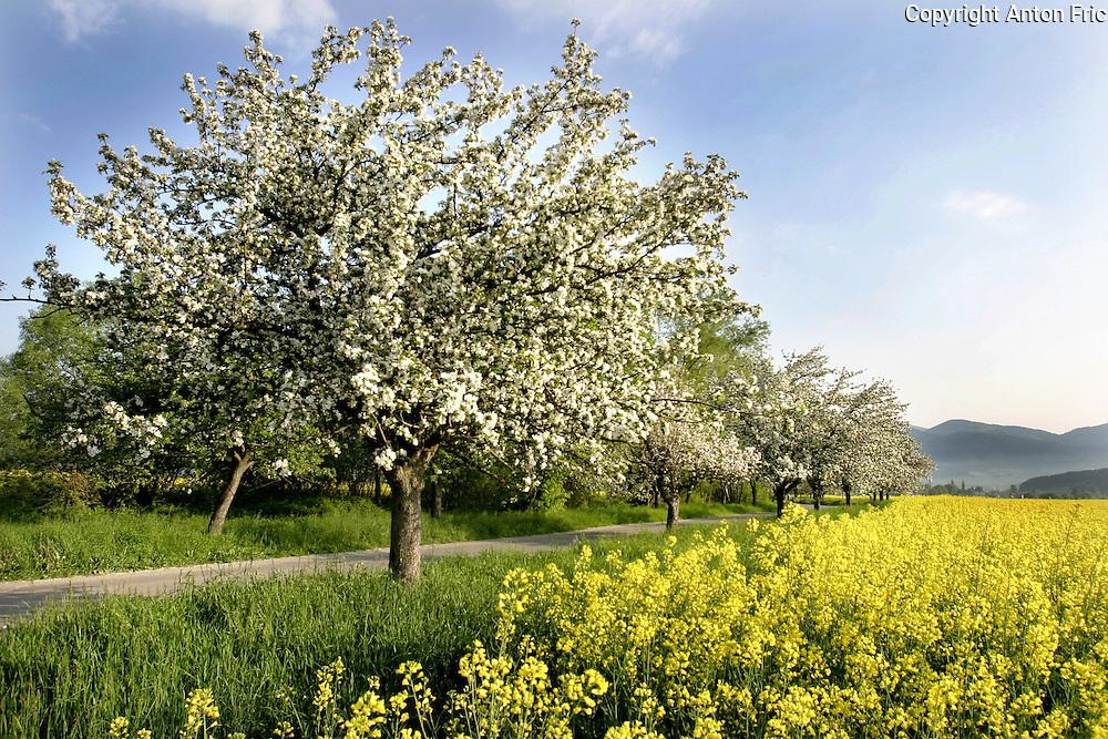 The alley of blooming apple trees along the road to the village of Liptovska Stiavnica near Ruzomberok in Liptov region in Slovakia.