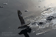 Northern fulmar, aka Arctic fulmar (Fulmarus glacialis) takes flight from glassy waters; Kongsfjorden, Svalbard.