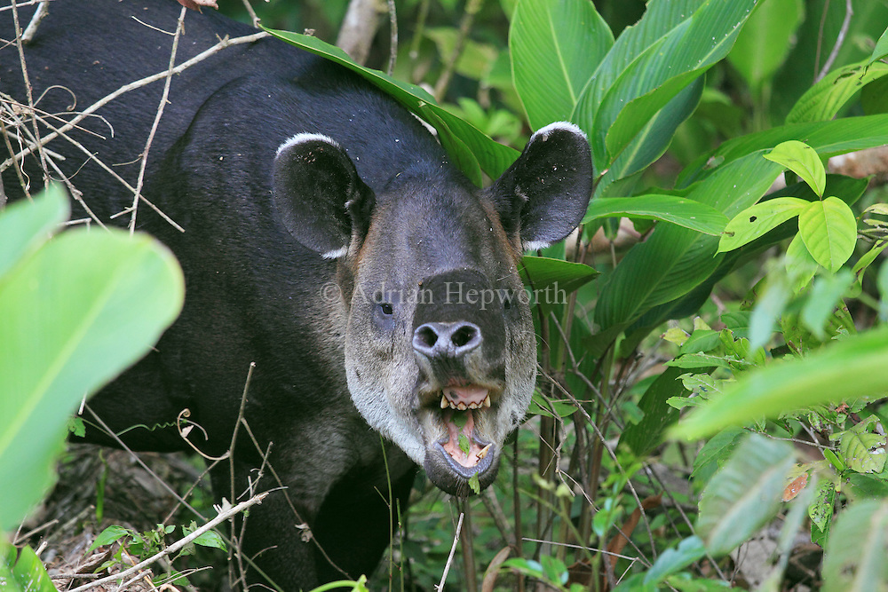 I love tapirs. These huge herbivores - distant relatives of the rhinoceros - stand as tall as a small donkey and can weigh up to 550 pounds. They slowly trample through the rainforest undergrowth grazing on mainly leaves and stems. This photo of a male in Corcovado National Park is my favorite tapir image; I only wish it had audio so you could hear the noise it made while chewing!<br />