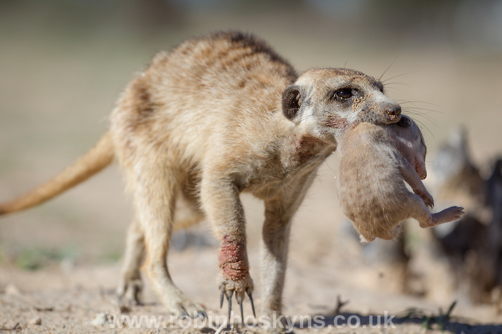 A dominant female Meerkat carries her pup to safety after being bitten by a venomous Puff-Adder.
