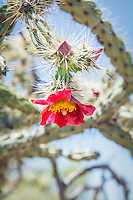 Common in southeastern Arizona, Baja California and Sonora in Mexico, parts of Southern California, as well as select locations in Utah and Nevada, the buckhorn cholla gets its name from its similarity in appearance to deer antlers. Flowers are quite variable in color - ranging from lemon yellow, fiery orange to a deep scarlet, and are followed later in the season by smooth, plump, mostly spineless, green, purplish, or reddish edible fruits. Like many other cactus species in the Southwest, the mature fruits of the buckhorn cholla drop off long before it blooms during the next season, therefore you will never see one with both fruits and flowers at the same time. This one with deep red and yellow flowers was found and photographed in the Alamo Canyon, deep in the Ajo Mountains of Southern Pima County, Arizona near the Mexican border.