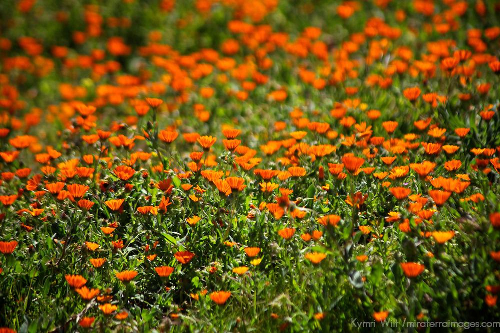 Africa, Morocco, Volubilis. Field of orange flowers at Volubilis.