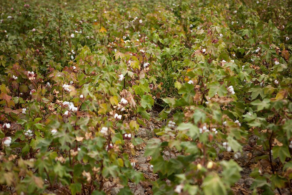 Cotton field in western Turkmenistan