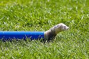 Ferret crawls through a pipe at ferret racing event, Oxfordshire, United Kingdom