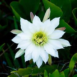 """""""Flor de Cacto-da-praia (Cereus fernambucensis) fotografado em Guarapari, Espírito Santo -  Sudeste do Brasil. Bioma Mata Atlântica. Registro feito em 2008.<br /> <br /> <br /> <br /> ENGLISH: Cactus Flower Cereus fernambucensis photographed in Guarapari, Espírito Santo - Southeast of Brazil. Atlantic Forest Biome. Picture made in 2008."""""""