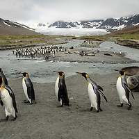A group of king penguins walks along the beach in a giant breeding colony at Saint Andrews Bay on the north coast of South Georgia Island.