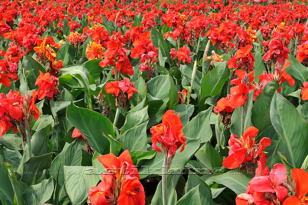 Field of red Cannas flovers.