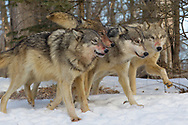 A pack of four gray wolves (Canis lupus) with bloody muzzles run in winter habitat.