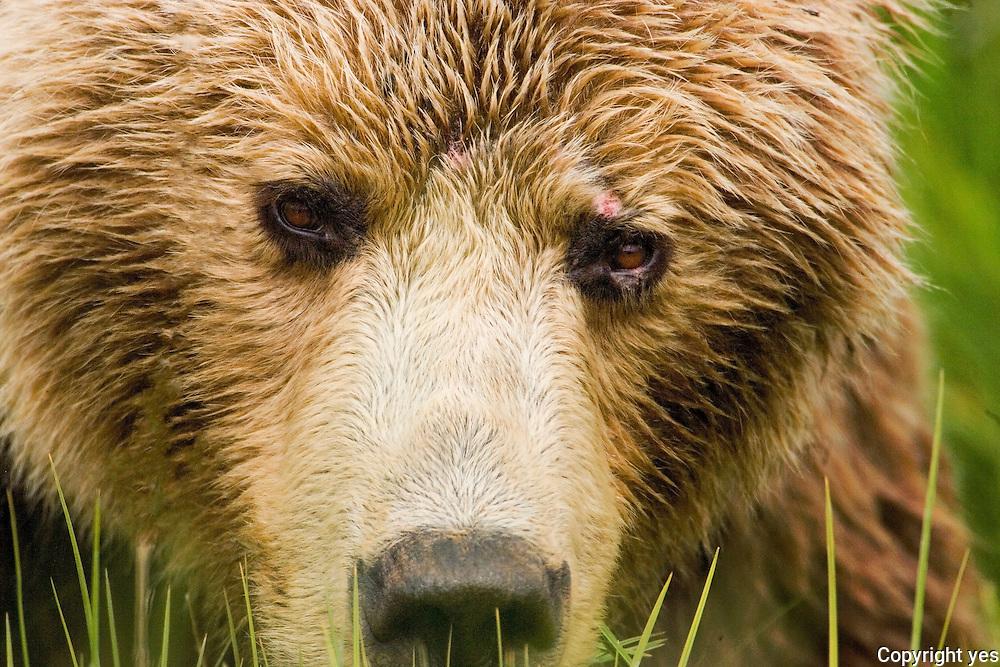 Alaskan Brown bears, south central coast, Alaska