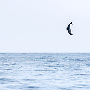 A spinner dolphin (Stenella longirostris) leaping exceptionally high into the air multiple times, demonstrating incredible power and athleticism