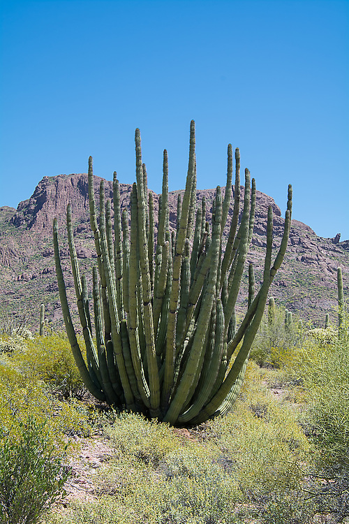 A very large an old organ pipe cactus grows in the Alamo Canyon in Southern Arizona's Ajo Mountains, miles from the Mexican border. This small, remote region of the Sonoran Desert is the only place in the United States to find these incredibly large cacti in the wild.