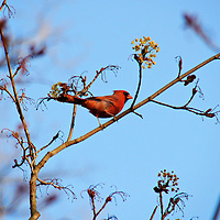 A male cardinal perched on a branch looking off into the distance. The photograph was taken in Wisconsin.