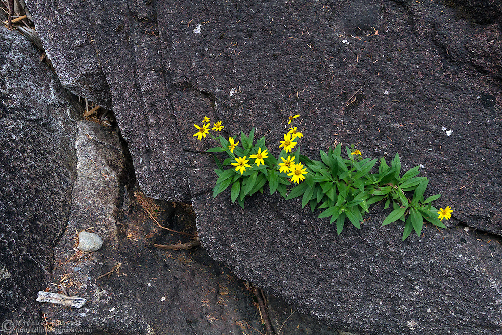 Streambank Arnica (Arnica amplexicaulis) blooming in a crack in the rocks near Lower Falls in Golden Ears Provincial Park, Maple Ridge, British Columbia, Canada