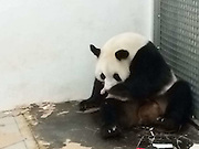 BRUGELETTE, BELGIUM - JUNE 02: (CHINA OUT)<br /> <br /> 7-year-old giant panda Hao Hao takes care of her first new-born baby at Belgium\'s Pairi Daiza zoo on June 2, 2016 in Brugelette, Province du Hainaut of Belgium. Hao hao gave birth to her baby panda on Thursday. With the help of the Chinese government, Hao Hao and her mate Xing Hui arrived in Belgium two years ago. Besides Austria and Spain, Belgium become the third European country where pandas have been born according to CTV News.<br /> ©Exclusivepix Media