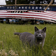 Gracie the cat, stands in front of James H. Mudd's, stars and stripes painted 32-foot Bristol Bay sailboat parked in his front yard on Orcas Island, Washington.