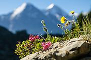Bild von Alpenblühmen mit in Hintergrund Eiger und Mönch