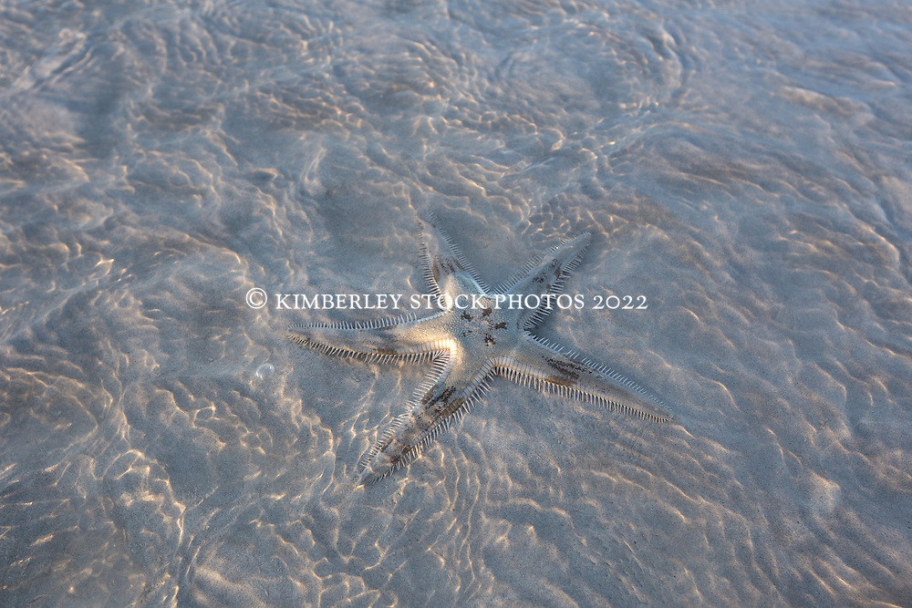 A starfish lies in shallow water on an exposed sandbank in Roebuck Bay in the Kimberley wet season, on a low spring tide.