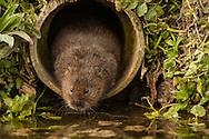 Water Vole (Arvicola terrestris) adult in drainage pipe, Norfolk, UK.