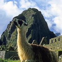 South America, Peru, Machu Picchu. Llama at Machu Picchu.