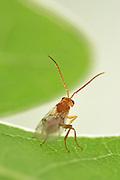 Gall wasp (Biorhiza pallida) on oak leaf. Niedersechsische Elbtalaue Biosphere Reserve, Elbe Valley, Lower Saxony, Germany | Schwammgallwespe (Biorhiza pallida)