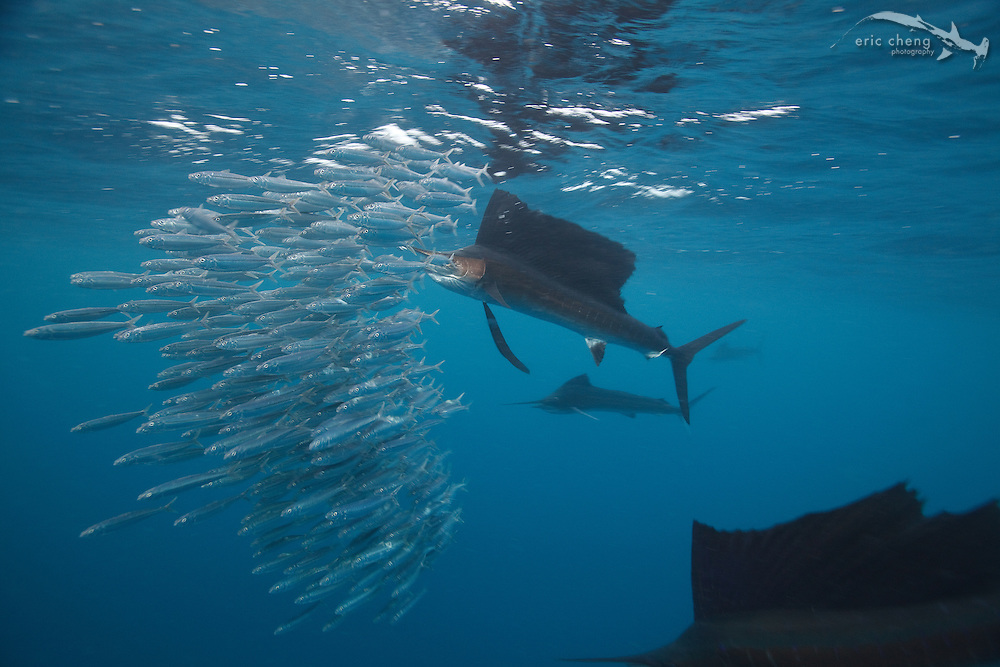 Atlantic sailfish (Istiophorus albicans) with a sardine in its mouth. Sailfish hunt baitballs in Isla Mujeres, Mexico.