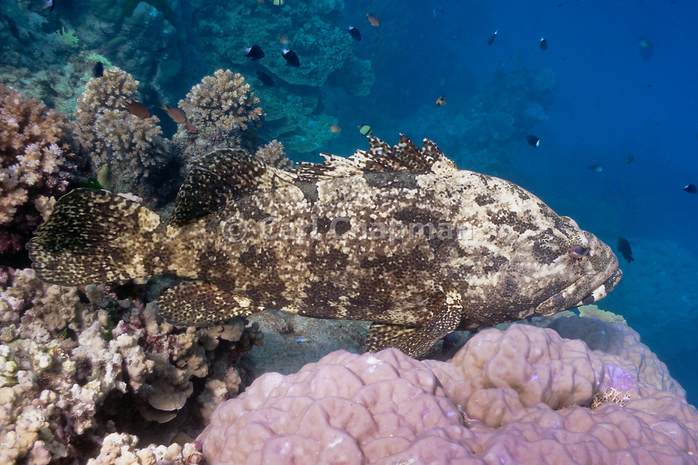 Flowery cod or brown marbled grouper (Epinephelus fuscoguttatus) on tropical coral reef - Agincourt Reef, Great Barrier Reef, Queensland, Australia.