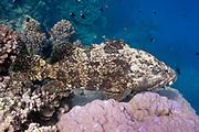 Flowery cod or brown marbled grouper (Epinephelus fuscoguttatus) on tropical coral reef - Agincourt Reef, Great Barrier Reef, Queensland, Australia.