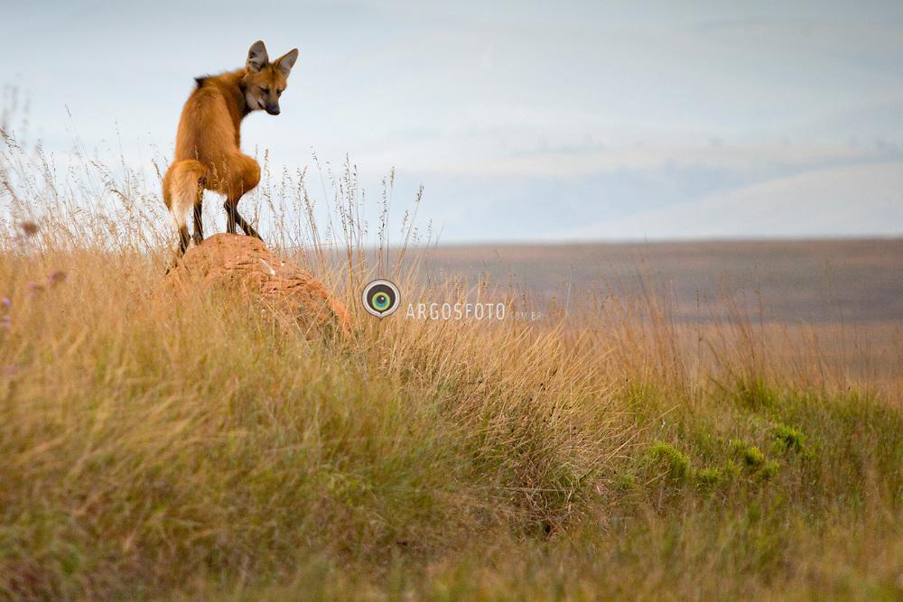 Maned wolf pissing over termite colony to mark territory / Lobo-guara (Chrysocyon brachyurus) marcando territorio ao urinar em cupinzeiro. Parque Nacional da Serra da Canastra - Minas Gerais - MG 2009