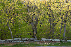Stone all and oak trees in spring on the summit of Mount Wachusett.  Mount Waschusett State Park, Massachusetts.
