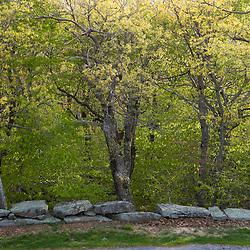 Stone all and oak trees in spring on the summit of Mount Wachusett.  Mount Waschusett State Park, Massachusetts.