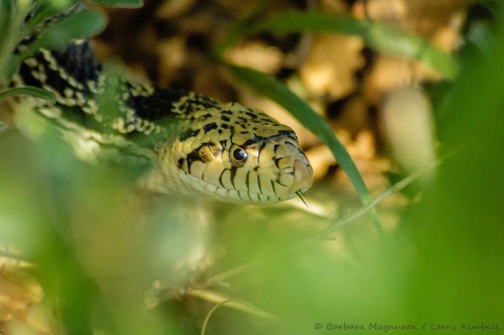 Bullsnake / Gopher Snake [Pituophis catenifer]; Fremont County, Colorado