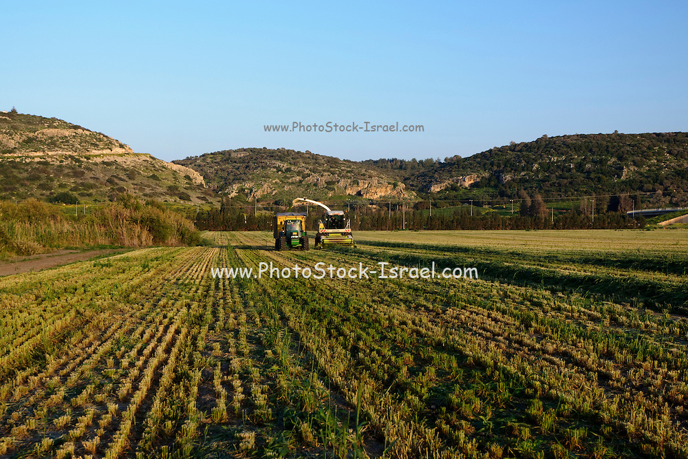 Wheat harvest for silage. Photographed in Israel at Kibbutz Maagan Michael