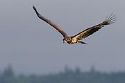 A juvenile bald eagle (Haliaeetus leucocephalus) flies over the Hood Canal near Seabeck, Washington, in search of food.