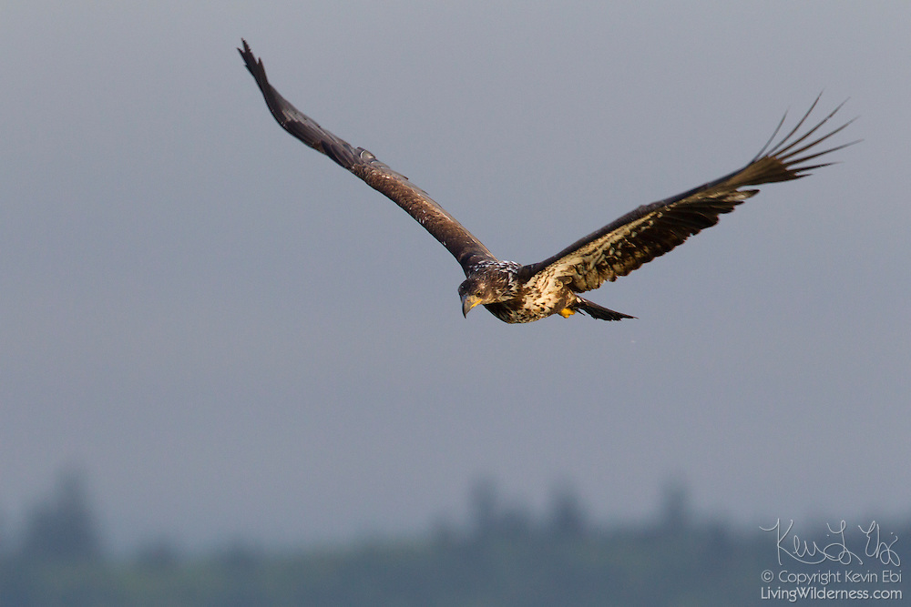 A juvenile bald eagle (Haliaeetus leucocephalus) flies over the Hood Canal near Seabeck, Washington, in search of food.