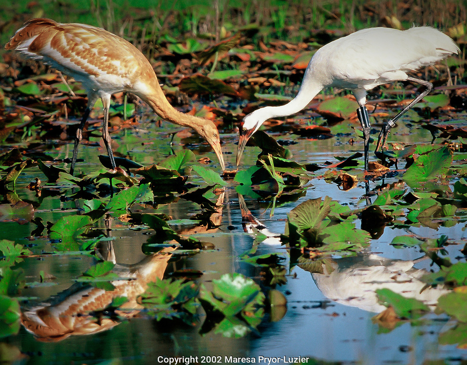 Female Whooping crane with fledgling hunting food in marsh, Grus americana, Florida, Endangered/wild<br /> First chick in USA since 1939