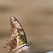 The Tailed Jay Butterfly, Graphium agamemnon agamemnon.