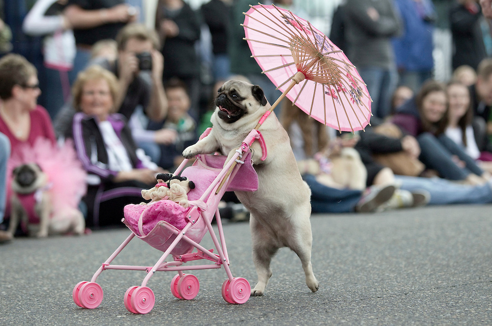 Jenny the Pug pushes a stroller with a pink parasol as she participates in the Parade of Pugs contest, organized by the Oregon Human society. Last year's Pug Crawl raised more than $8,000 for the animals at OHS, which is the Northwest's oldest and largest humane society.
