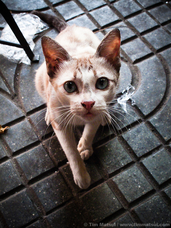A cat begs on the street in Bangkok, Thailand.
