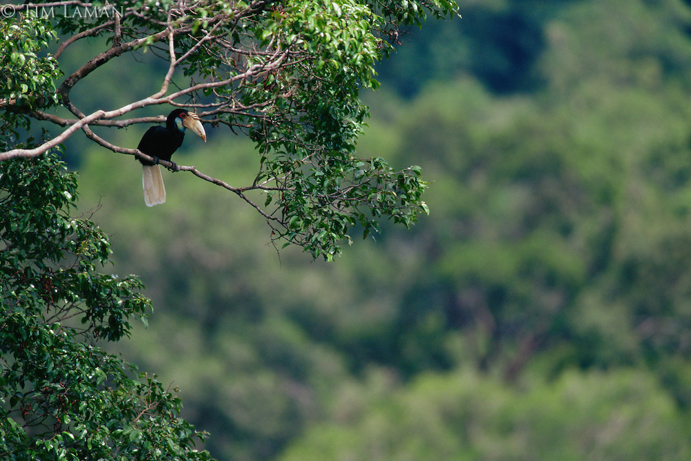 Wreathed Hornbill (Aceros undulatus) female in the forest canopy..Gunung Palung National Park, West Kalimantan, Borneo, Indonesia