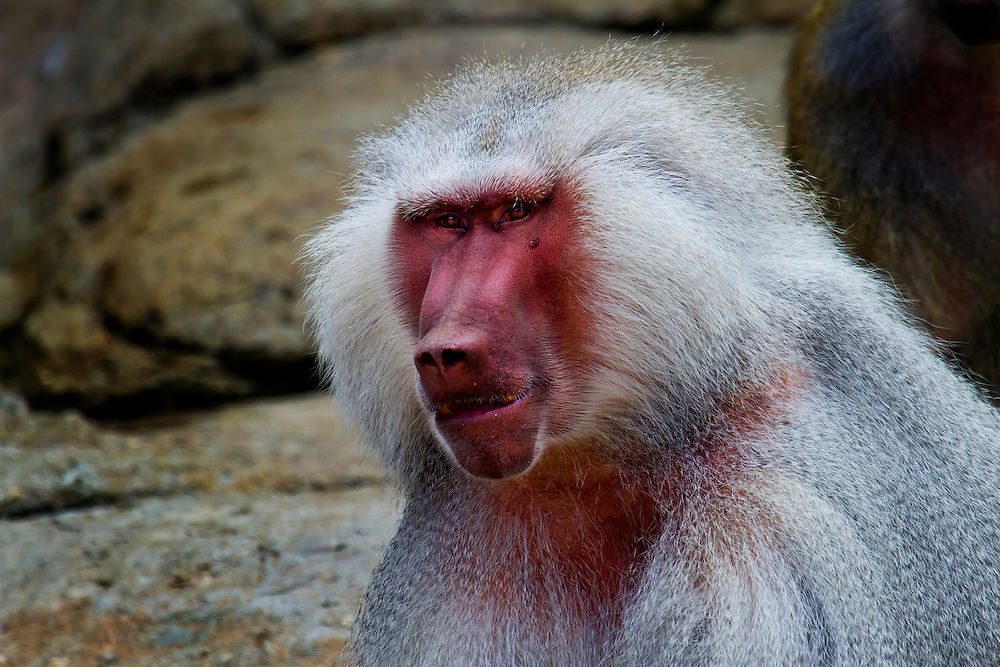 Dominant male baboon. Not someone to be messed with.