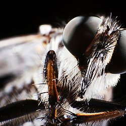 Kyle Green / The Roanoke Times<br /> 8/28/2012 Robber Fly