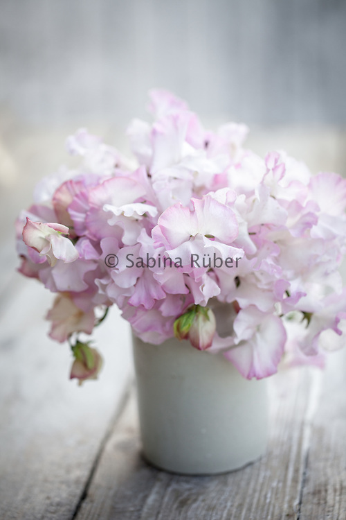 Lathyrus oderatus 'Anniversary' - sweet pea arrangement in small white jug