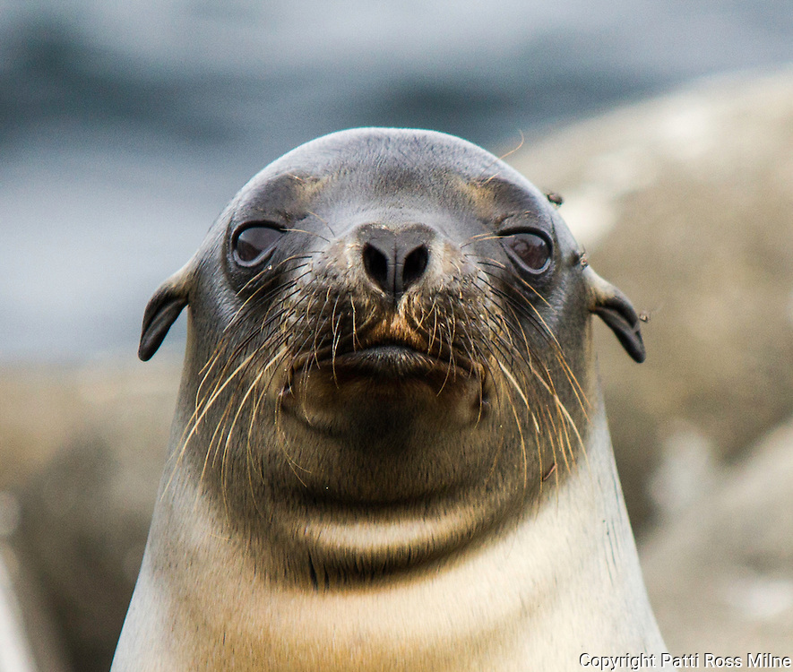 Portrait of a Galapagos sea lion.