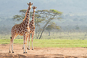 A pair of Reticulated Giraffes stare me down at Enasoit, Kenya