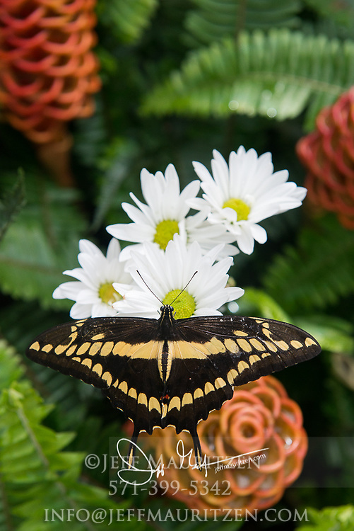 Papilio thoas or Thoas swallowtail looks for nectar on a flower.