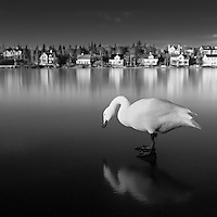 A swan on ice