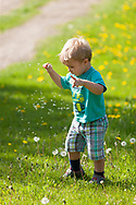 A fascinated little boy picking dandelions and shaking the seeds free.