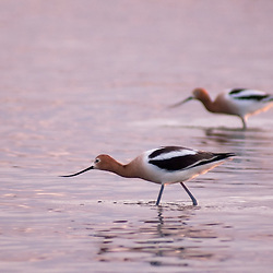 American avocets wade in a Colorado lake at sunset.