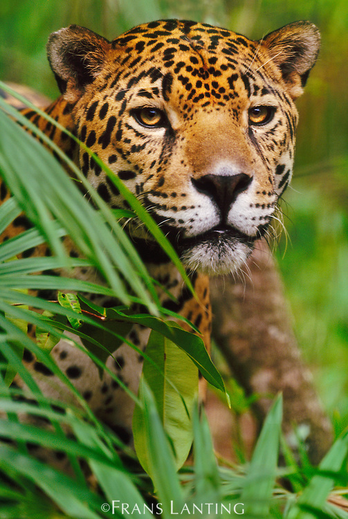 Jaguar, Panthera onca, Belize